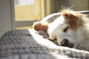 Hund sover i solen
