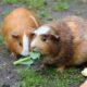 Marsvin spiser grøntsager i haven