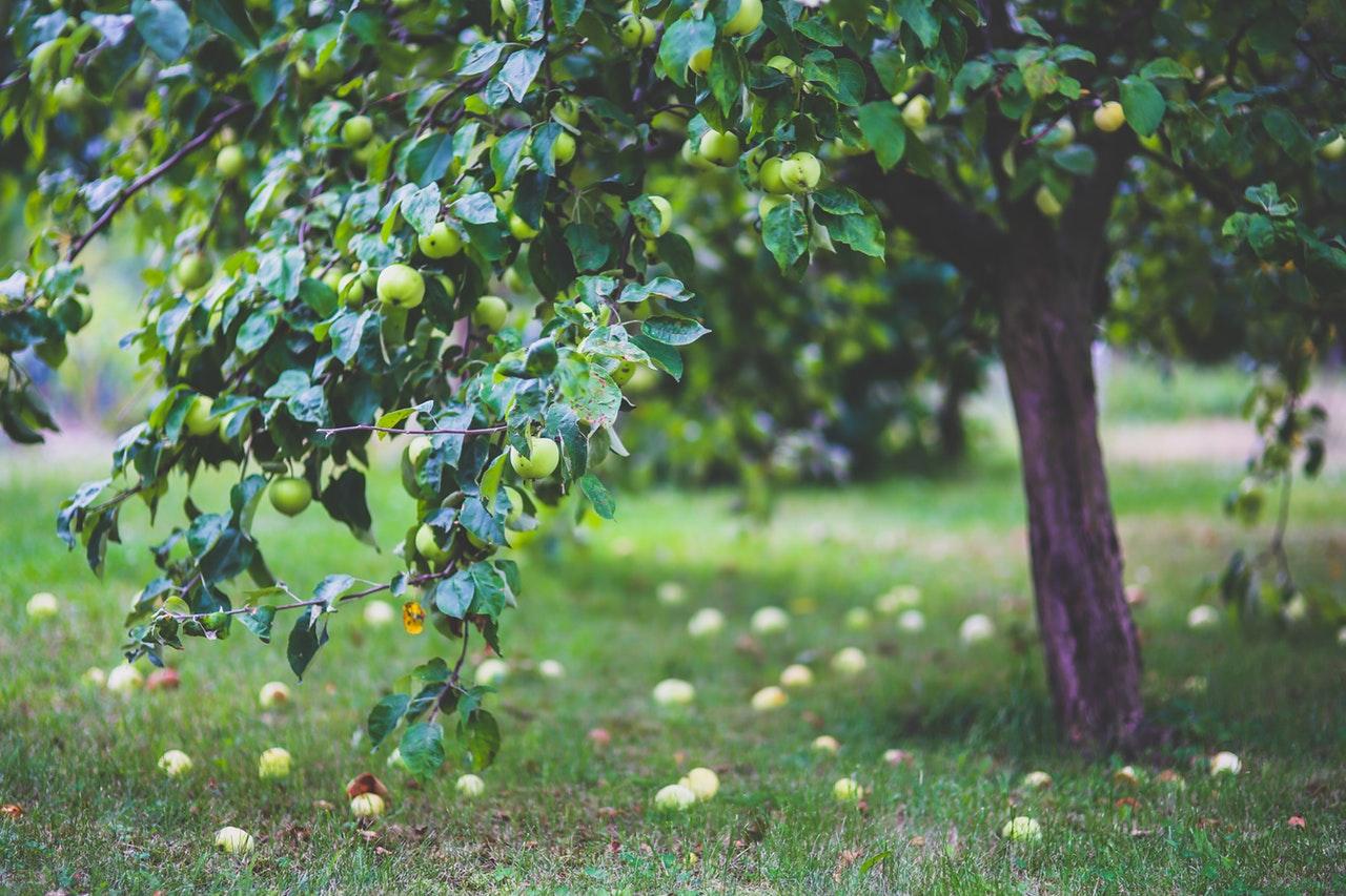 Frugttræ